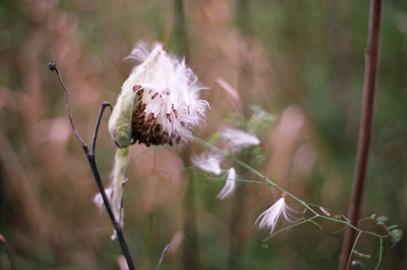 whiteseeds.jpg